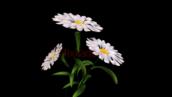 گل بابونه-کد 112205